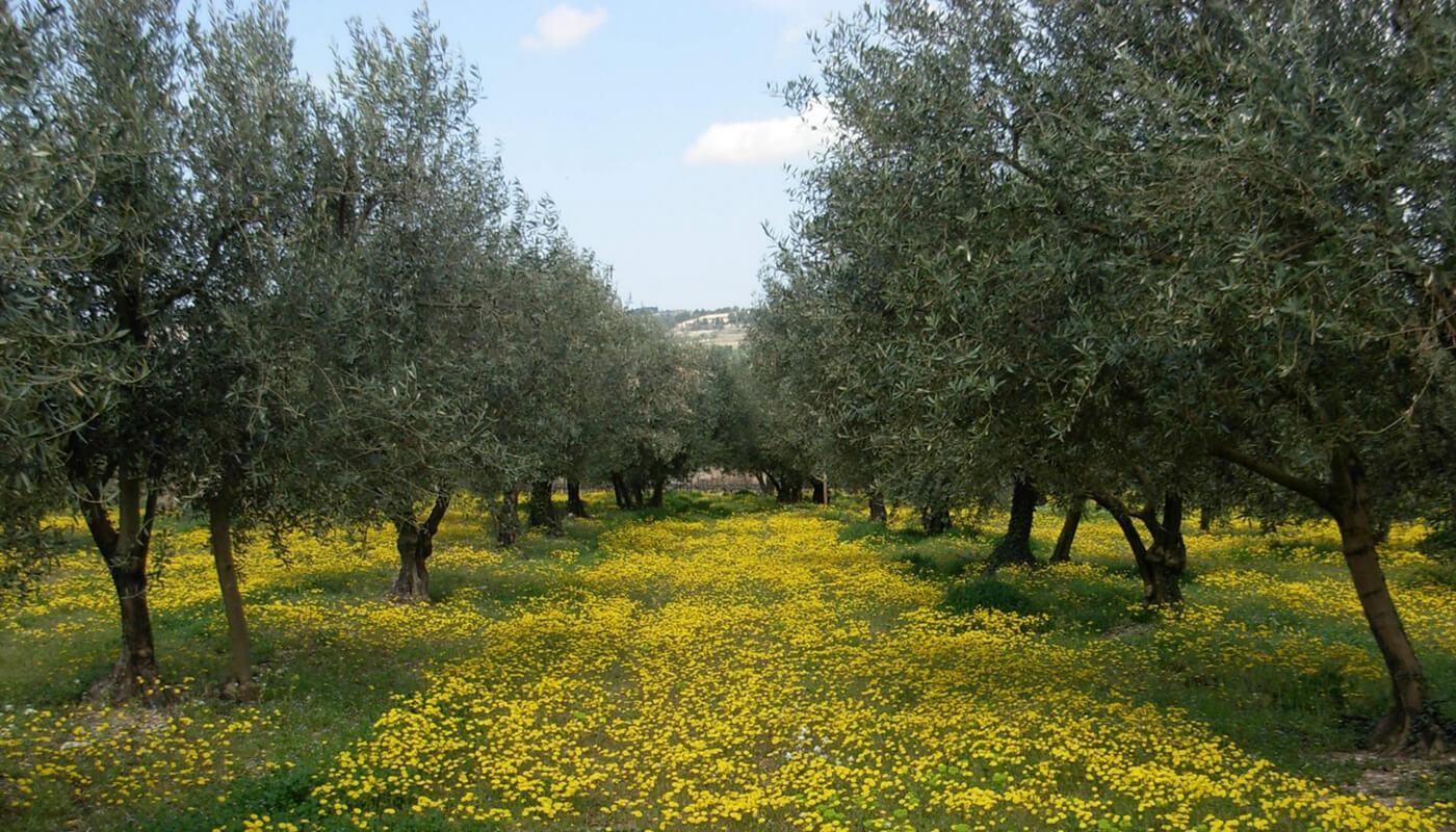Olivier pour confectionner de l'huile d'olive AOP Nyons