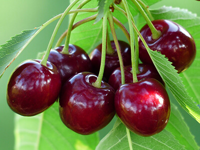 Vente directe fruits et légumes : cerises