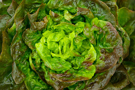 producteur-salade